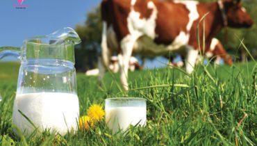 Hai chỉ số quan trọng quyết định chất lượng sữa tươi mẹ cần biết